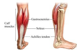 anatomy-of-the-calf