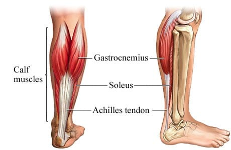 Anatomy of the calf muscles